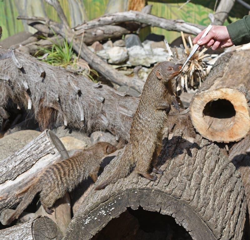 Zookeeper feeds animals. Banded mongoose Mungos mungo.  royalty free stock photos