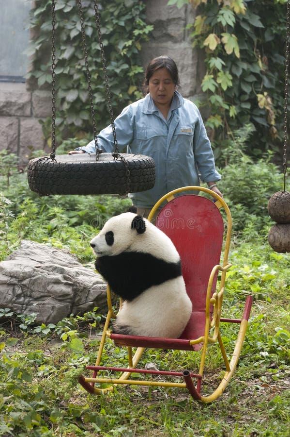 Zookeeper, Giant Panda Bear Cub, Beijing China Zoo royalty free stock photography
