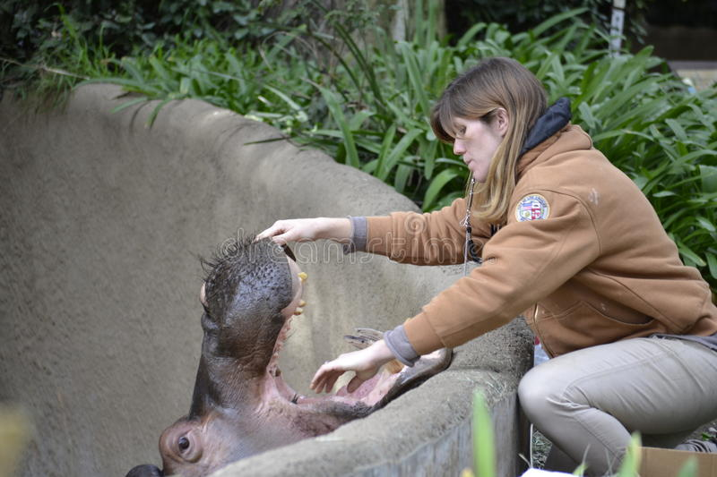 Zookeeper inspects hippo's mouth teeth. Female zookeeper reaches to inspects the mouth and teeth of a hippo at the LA Zoo royalty free stock photography