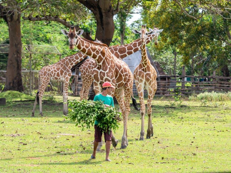 A zookeeper preparing to feed a giraffe,Calauit Safari, Palawan, Philippines.Nov 15,2018. Nov 15,2018 A zookeeper preparing to feed a giraffe,Calauit Safari royalty free stock photos