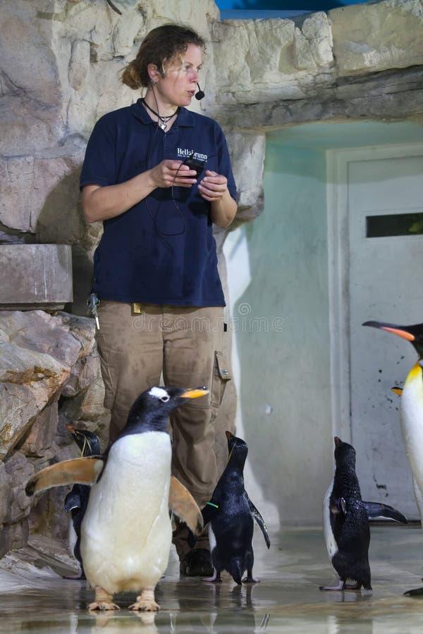 Zookeeper voert het openbare voeden van pinguïnen uit stock foto