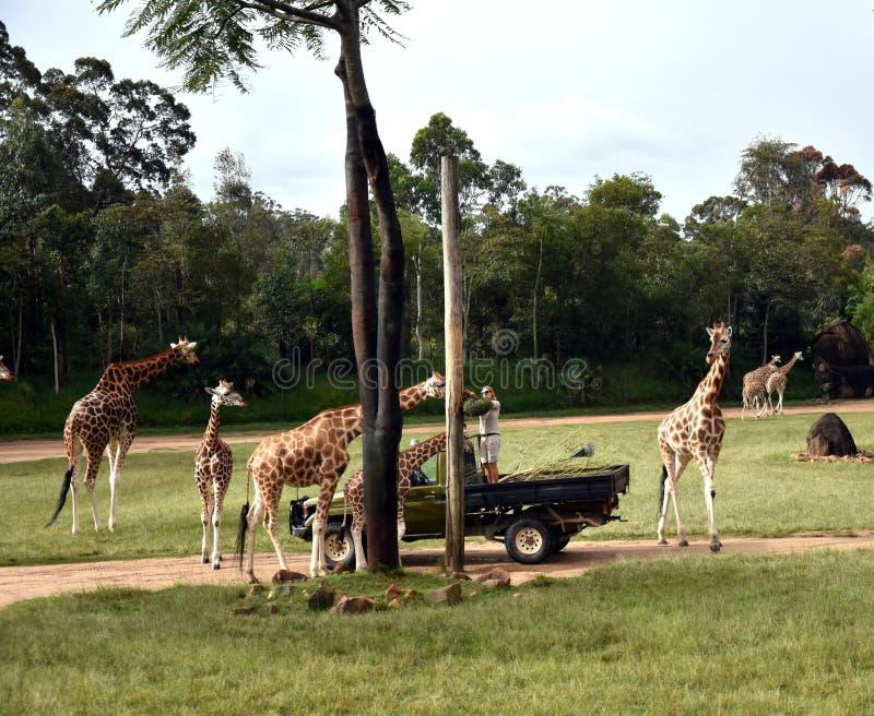 Zookeper voedende giraffen in het Afrikaanse Safaritentoongestelde voorwerp stock foto