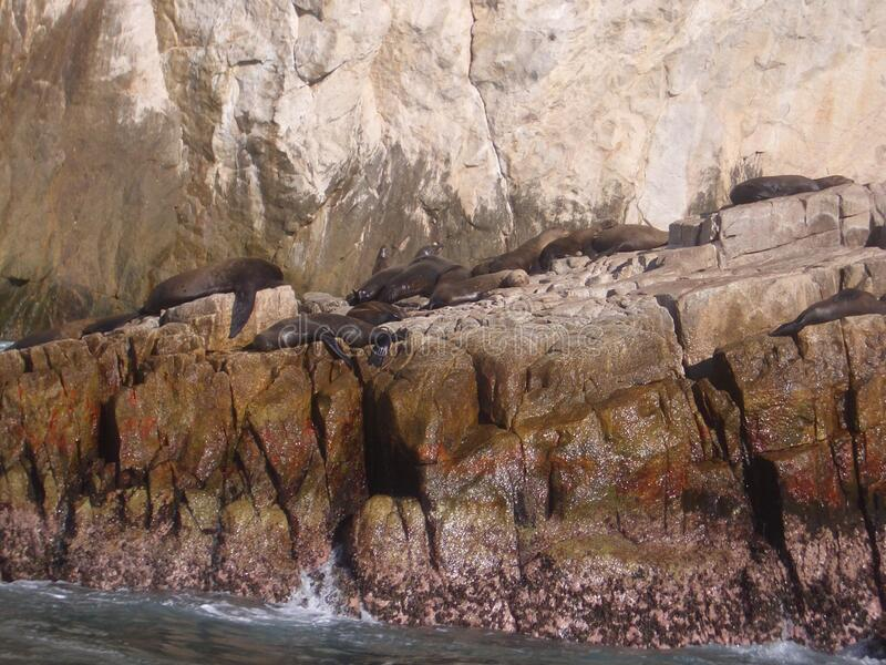 Seals rock. Zoological image of seal flock showing seals rock. The seal flock is a sea animal royalty free stock photography