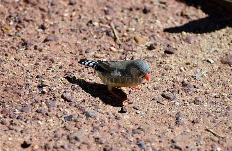 Zoologie, australische Vögel lizenzfreie stockfotos