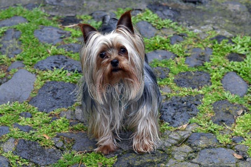 Zoologie, kleiner Hund lizenzfreie stockfotografie