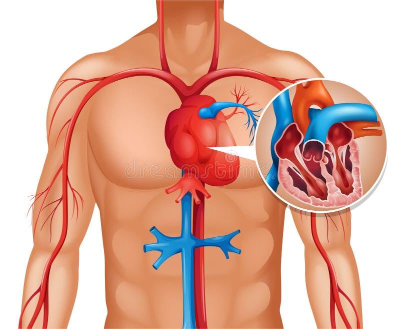 Zoom aus menschlichem Herzen heraus lizenzfreie abbildung
