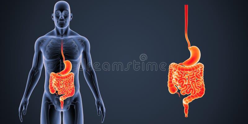 Zoom dell'intestino e dello stomaco royalty illustrazione gratis