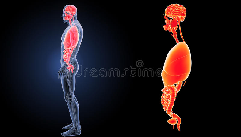 Zoom för mänskliga organ med anatomisidosikt royaltyfri illustrationer