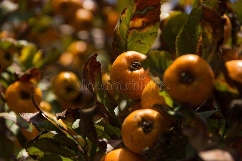 Zoom of a tejocotes tree royalty free stock photography