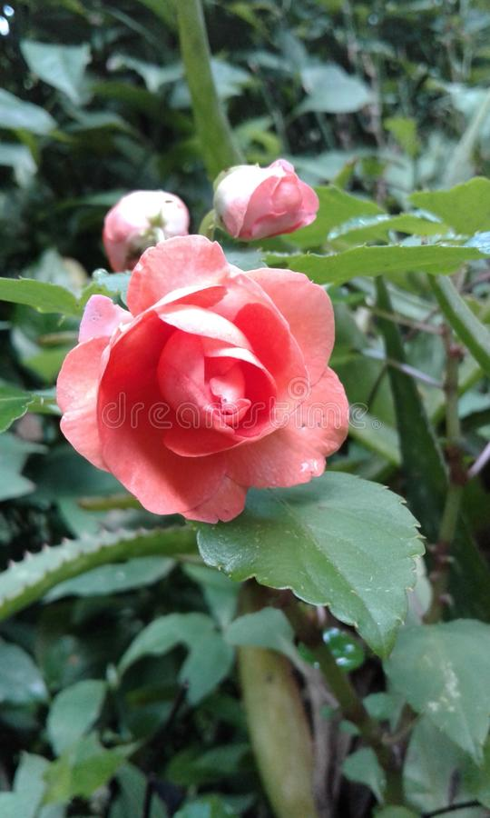 A flower royalty free stock photos