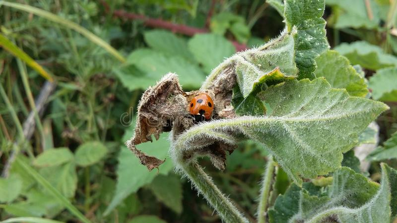 Zoomte Aussicht auf eine Ladybug, die sich während der Sommersaison auf einem Blatt entspannt stockbild