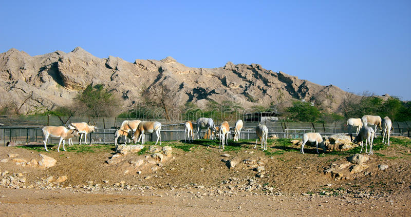 Zooo em Al Ain foto de stock royalty free