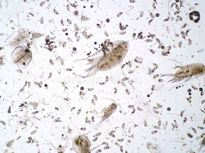 Zooplancton acuático de agua dulce fotografía de archivo libre de regalías