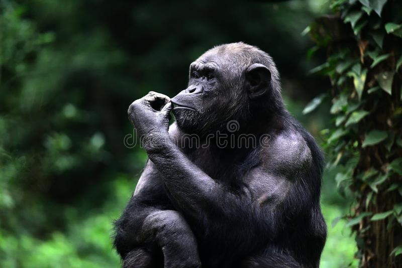 Zooschimpanse lizenzfreie stockbilder