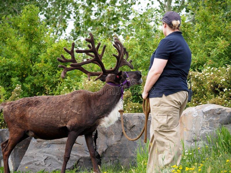 Zoovårdare med renen eller rangiferen Tarandus på den Edmonton dalzoo royaltyfria foton
