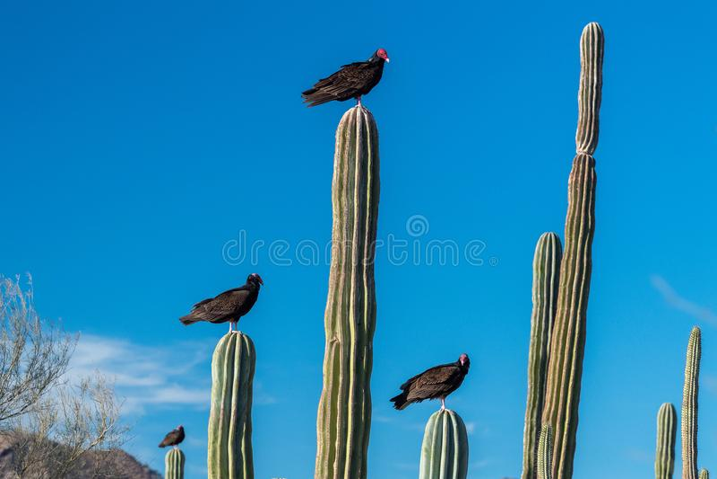 Zopilote-Geier-Bussardvogel in Baja California stockfoto