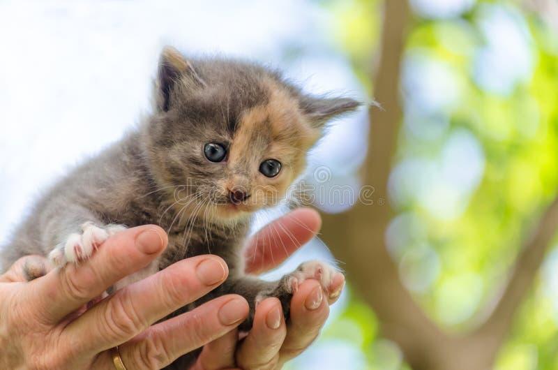 Zorg van huisdieren klein katje met blauwe ogen in open aga van vrouwenpalmen royalty-vrije stock fotografie