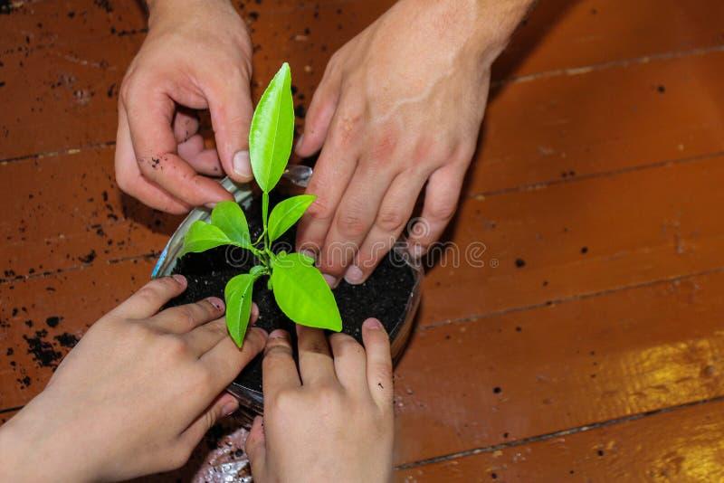 Zorg voor het milieu installatie in een pot, een weinig verspreide aarde rond zaailingen, het planten stock afbeelding