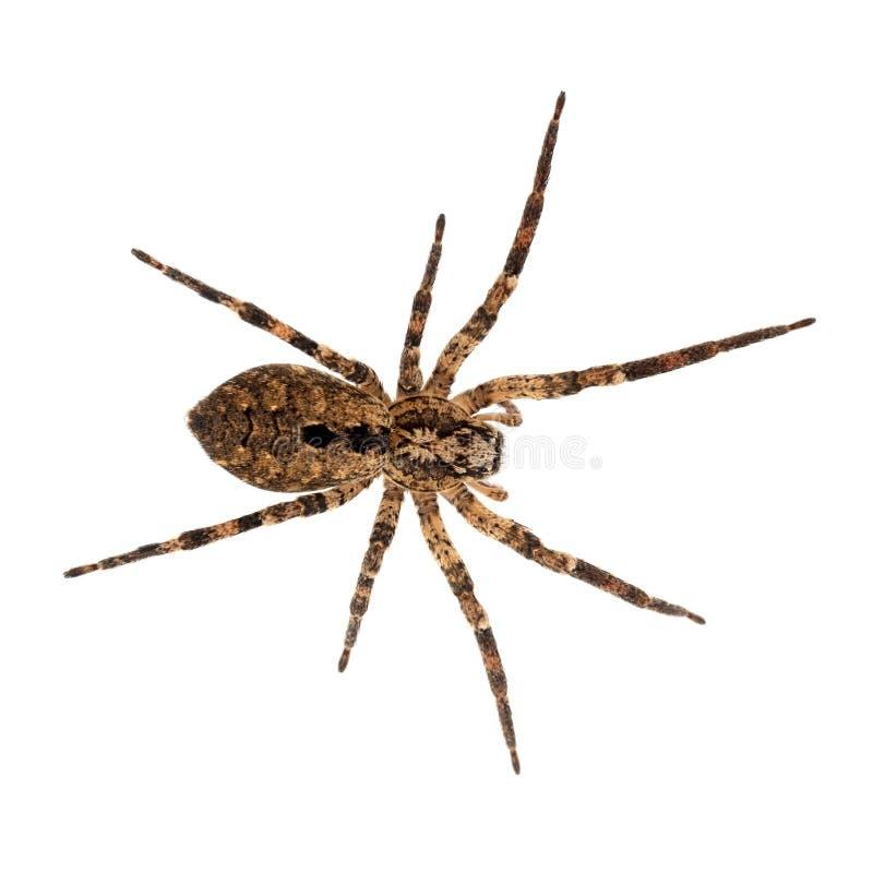 Zoropsis spinimana,错误狼蛛 大棕色和hiary 查出在白色 图库摄影