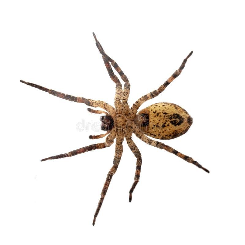 Zoropsis spinimana, False wolf spider, underside - photo taken through glass. Isolated on white. Zoropsis spinimana, False wolf spider underside - photo taken stock photography