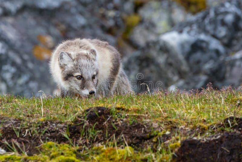 Zorro ártico en la caza fotografía de archivo