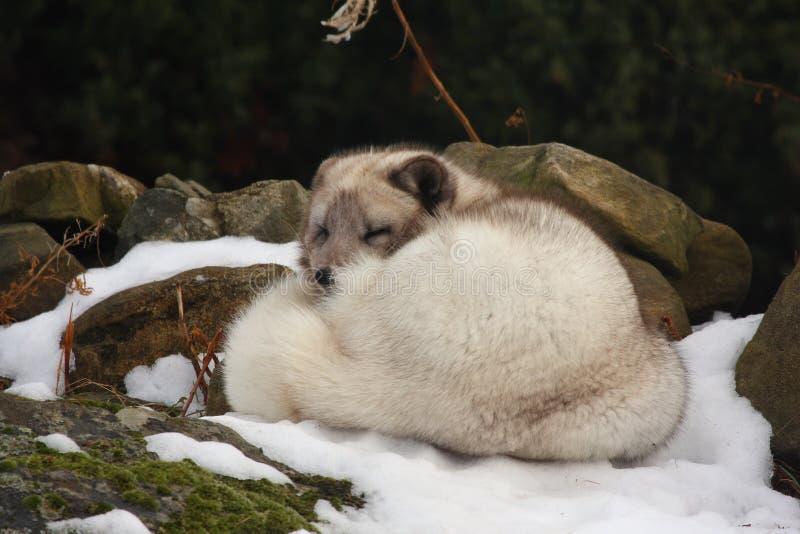 Zorro ártico en la nieve fotografía de archivo libre de regalías