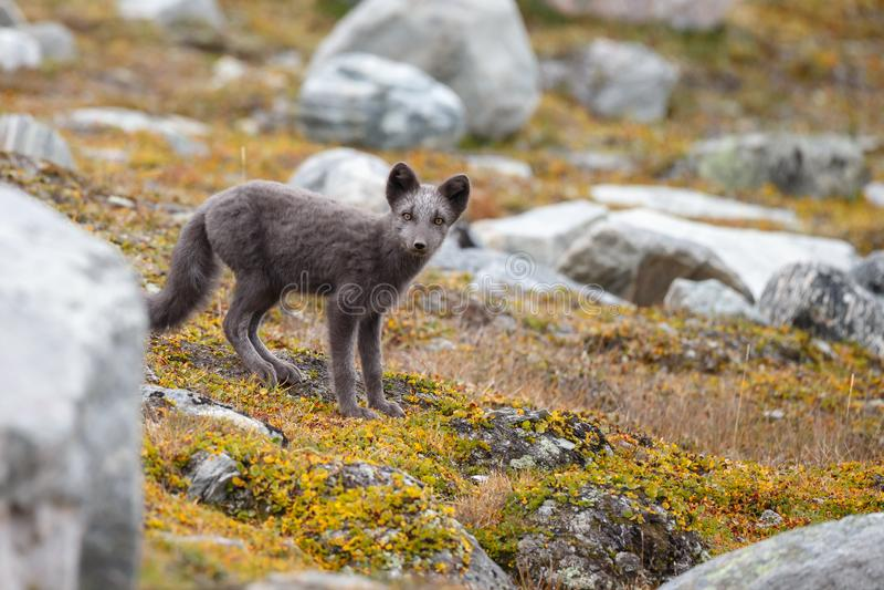 Zorro ártico en un paisaje del otoño imagen de archivo libre de regalías