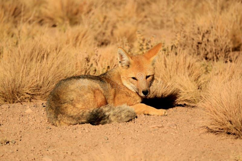 Zorro Culpeo ou Fox andin détendant à la lumière du soleil parmi des usines de brosse de désert, réserve nationale de flamenco de photos libres de droits