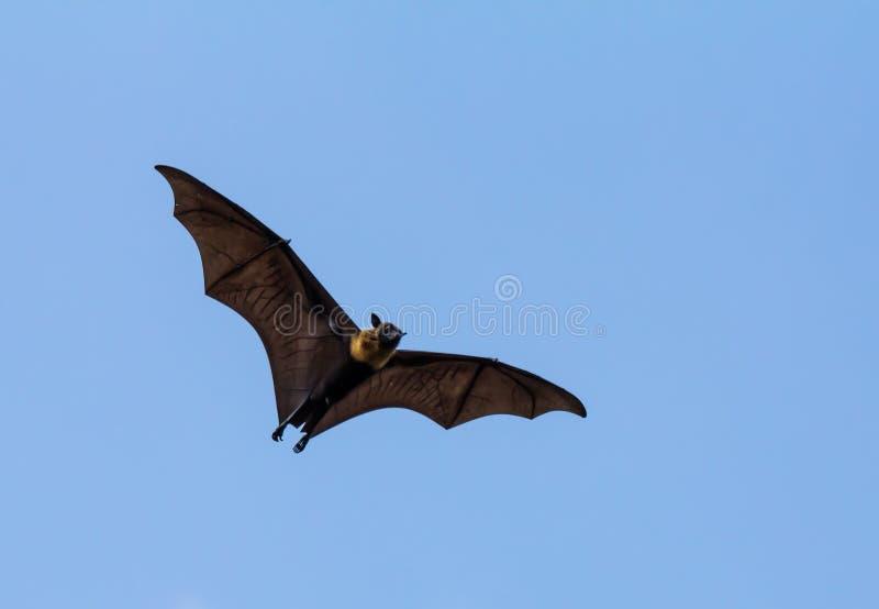 Zorro de vuelo fotografía de archivo libre de regalías