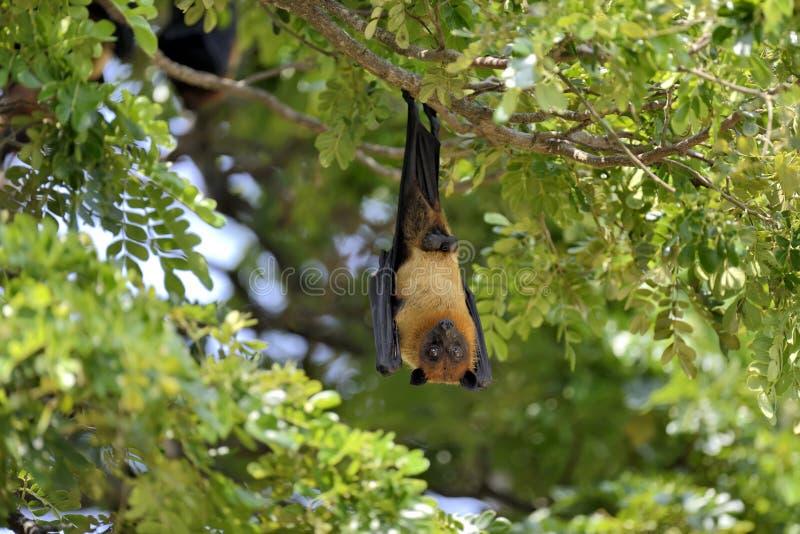 Zorro de vuelo imagen de archivo