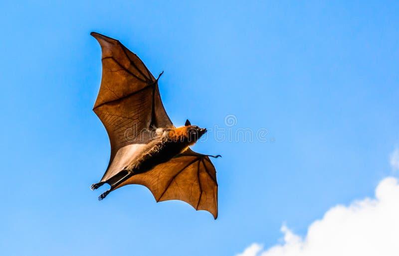 Zorro de vuelo en el cielo azul fotos de archivo libres de regalías