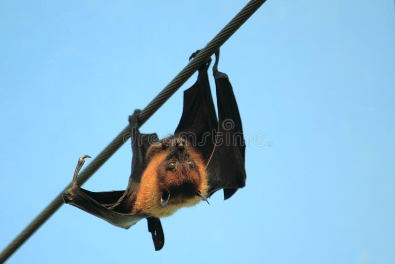 Zorro de vuelo indio foto de archivo libre de regalías