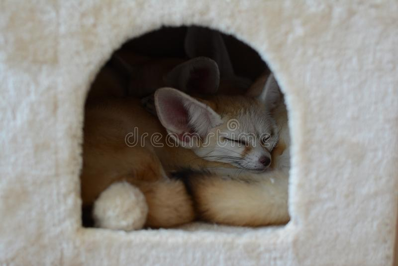 Zorro del bebé que duerme en la casa fotos de archivo