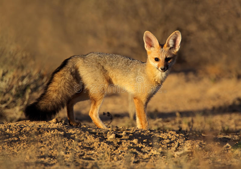 Zorro del cabo, desierto de Kalahari, Suráfrica imagenes de archivo