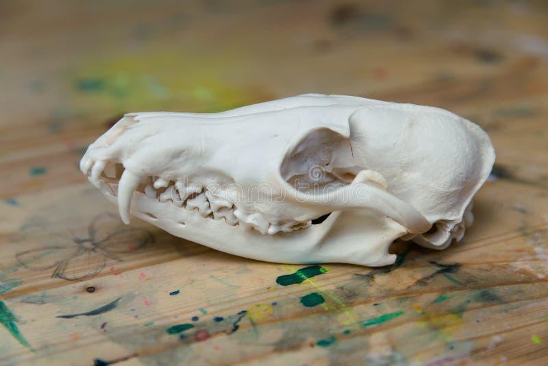 Zorro del cráneo que miente en una tabla de madera fotografía de archivo