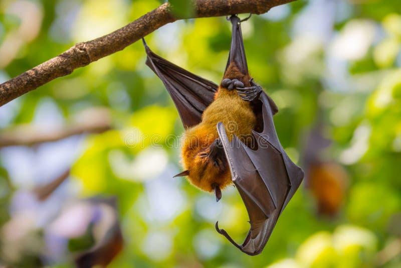 Zorro del vuelo de Lyle masculino imágenes de archivo libres de regalías