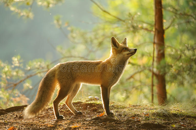 Zorro rojo de la vista lateral en contraluz de la belleza en bosque del otoño imagen de archivo