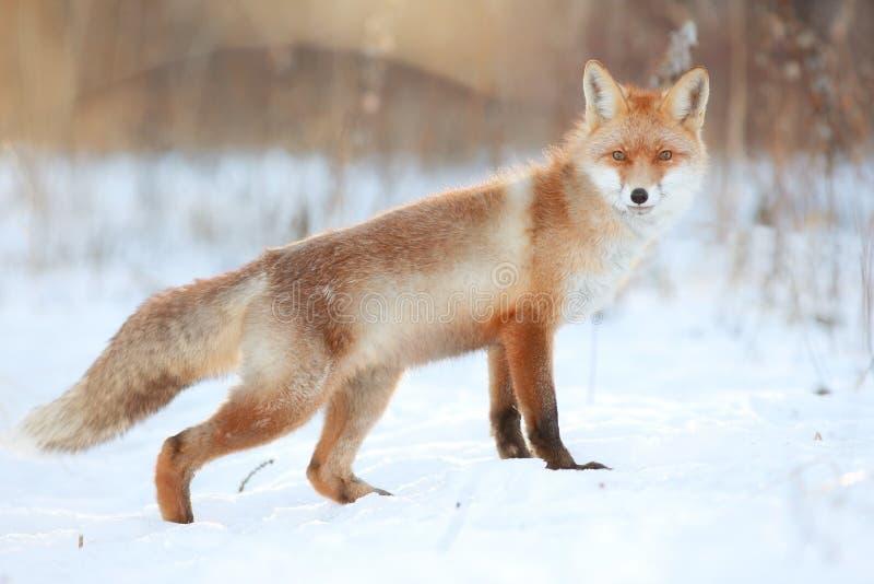 Zorro rojo en bosque del invierno imagen de archivo libre de regalías