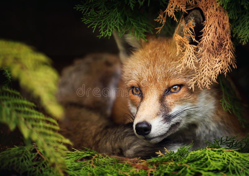 Zorro rojo que miente debajo del árbol imagen de archivo libre de regalías