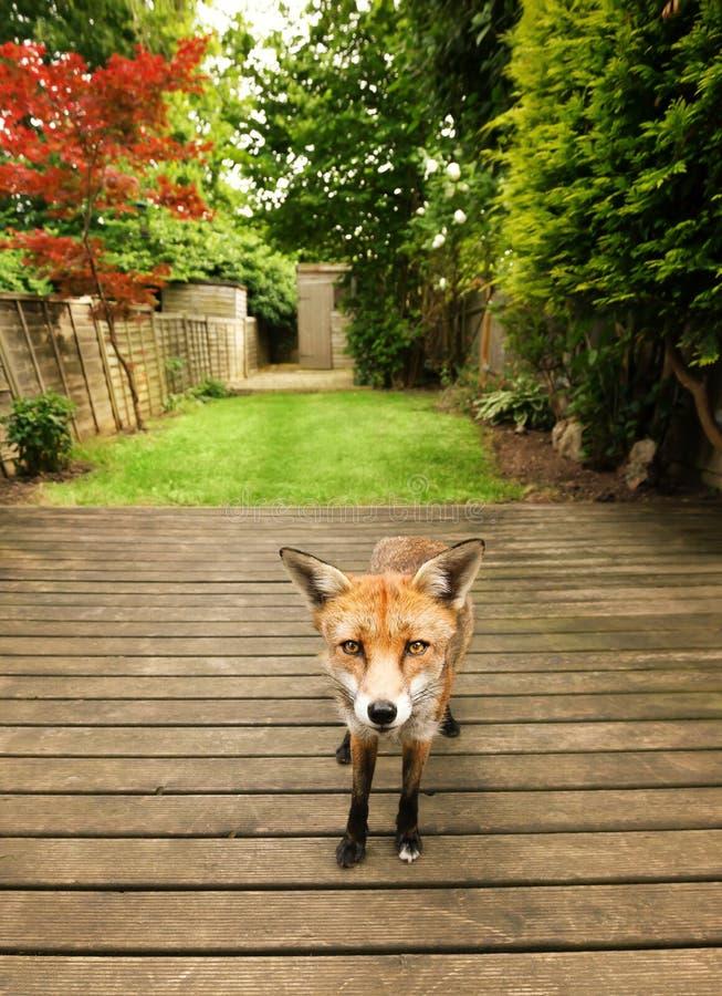 Zorro rojo que se coloca en un decking de madera en el jardín foto de archivo