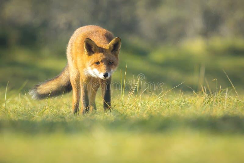 Zorro rojo salvaje Autumn Colors imagenes de archivo