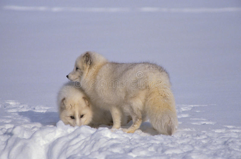 Zorros árticos en nieve imagen de archivo libre de regalías