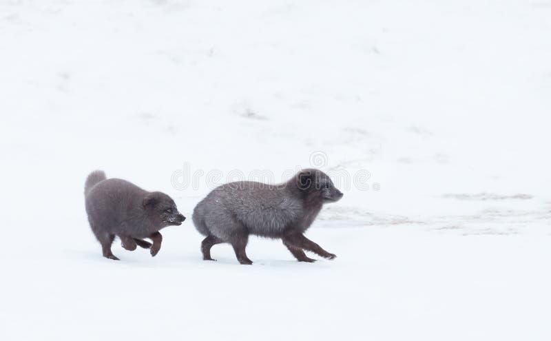 Zorros árticos que se persiguen durante la crianza de la estación foto de archivo