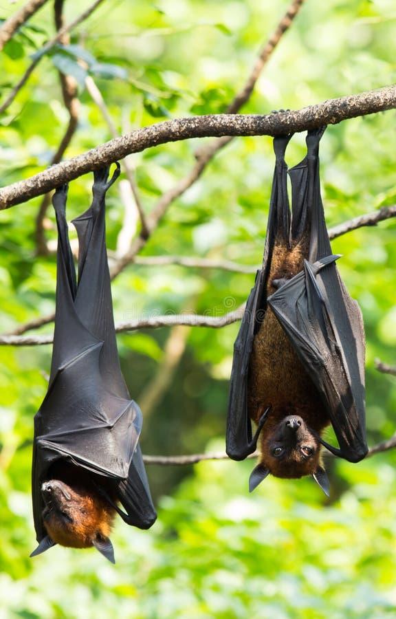 Zorros de vuelo imagen de archivo