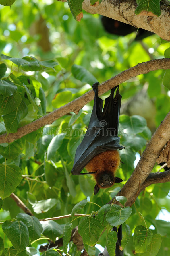 Zorros de vuelo fotografía de archivo
