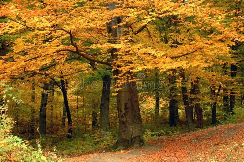 zostaw drzewa żółty obraz royalty free