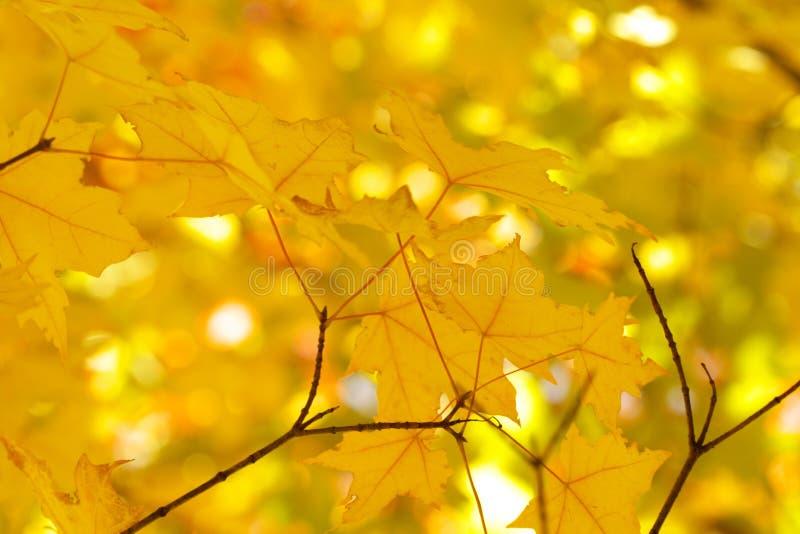 zostaw klonowego żółty fotografia stock