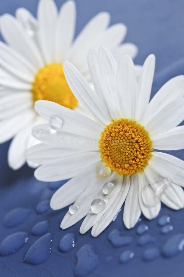 zostaw kwiaty daisy wody obraz stock