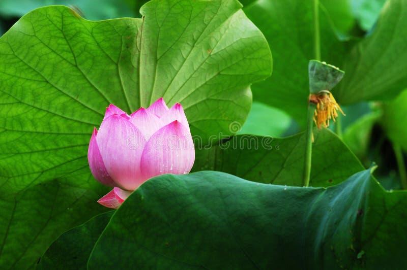 zostaw lily obraz royalty free