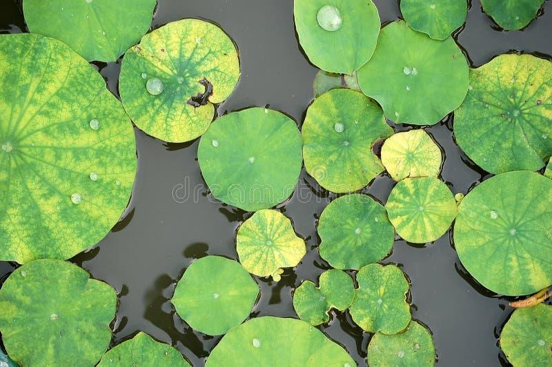 zostaw lotosu zdjęcie stock